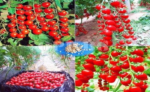 Семена за Вкусни Чери Доматчета